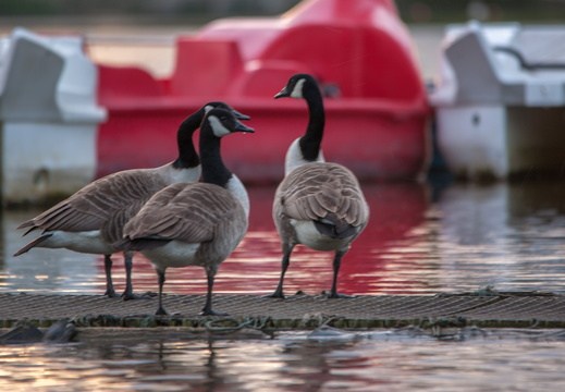 Canada geese having a chat